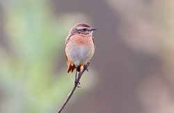 The whinchat (Saxicola rubetra) female  is a small migratory passerine bird breeding in Europe and western Asia and wintering in central Africa.