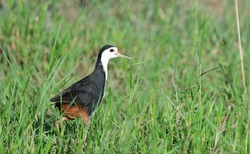 The white-breasted waterhen (Amaurornis phoenicurus) is a waterbird of the rail and crake family,Bird in Thailand.