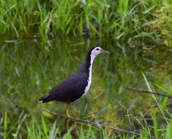 The white-breasted waterhen is a waterbird of the rail and crake family, Rallidae, that is widely distributed across South and Southeast Asia. They are dark slaty birds with a clean white face, breast