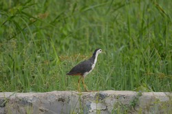 The white-breasted waterhen is a waterbird of the rail and crake family, that is widely distributed across South and Southeast Asia. They are dark slaty birds with a clean white face,breast and belly.