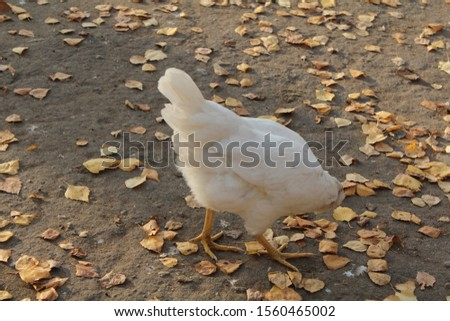 The white chicken stands on the  gray ground. On the ground are yellow leaves. The chicken  looks down.