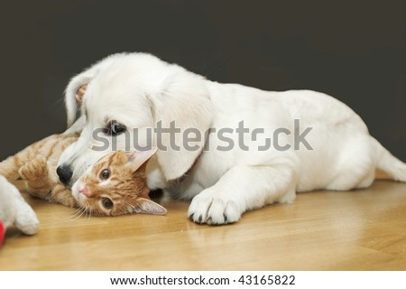 The white dog plays with red cat and bites it for neck