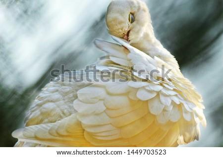 The White Dove, Sacred White Dove, or Java Dove #1449703523