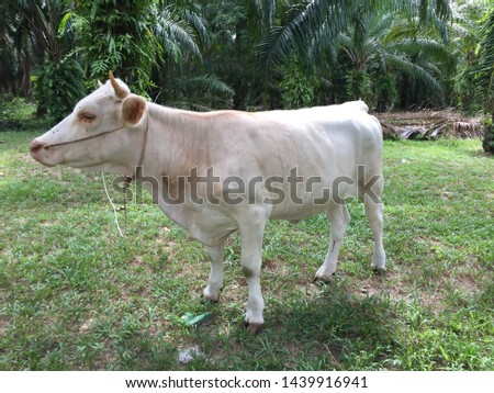 The white female cow is a mammal that gardeners are very popular. #1439916941