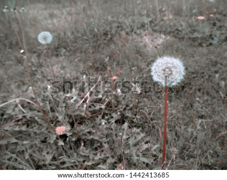The white flower you make a wish on is a species of Dandelion. Scientific name is Taraxacum officinale. Two of wishes flowers are glowing in meadow. A photo taken in early of October in Japan. #1442413685