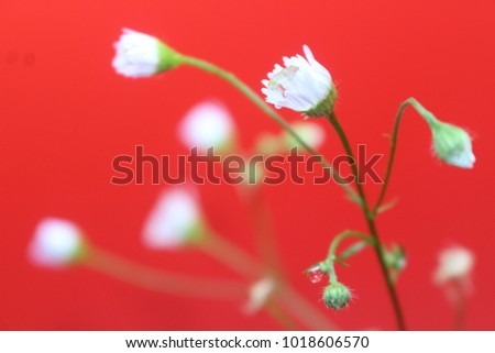 The white flowers are very small with drops of water. On a red background. Grass along the edges of the road. Happy Valentine's Day 2018