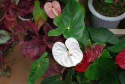 The white flowers of anthurium are in bloom. Anthurium is a plant native to the West Indies and tropical America classified into the genus Anthurium of the taro family.