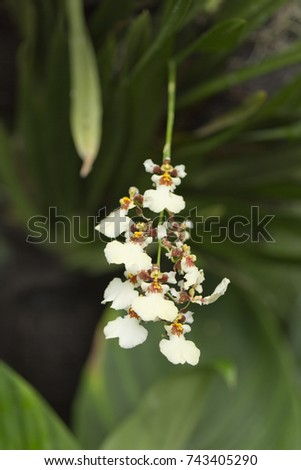 The white flowers orchids blooming in the botanical garden. Asia, Singapore, nature flora. Oncidium variegate (twinkle).