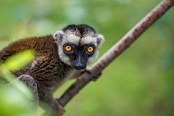 The white-headed lemur (Eulemur albifrons), also known as the white-headed brown lemur or white-fronted lemur, is a species of primate in the family Lemuridae. Sitting on the branch.