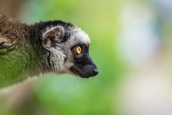 The white-headed lemur (Eulemur albifrons), also known as white-headed brown, white-fronted brown or white-fronted lemur, is a species of primate in the family Lemuridae. Close up portrait oof head.