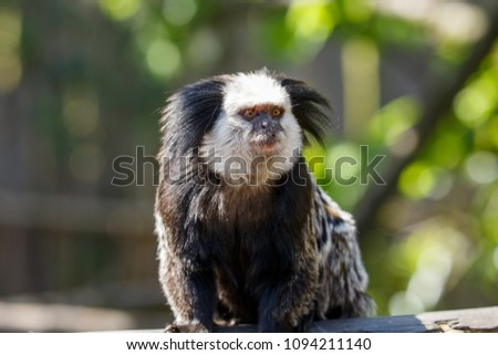 The white-headed marmoset, also known as the tufted-ear, Geoffroy's or Geoffrey's marmoset, is a marmoset endemic to Brazil. It is known as the sagüi or sauim in Brazil.