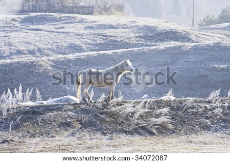 The white horse, on the dawn, surrounded with hoarfrost