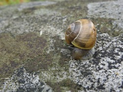 The white-lipped snail or garden banded snail (Cepaea hortensis) on the stone.