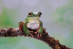 The white-lipped tree frog is found in Papua, Indonesia. Other common names is the giant tree frog.