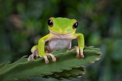 The white-lipped tree frog (Nyctimystes infrafrenatus) or Giant tree frog on cactus leaves.