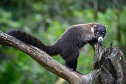 Thewhite-nosed coati,Nasua narica The mammal is standing in the rain forest America Costa Rica Wildlife scene from America nature.