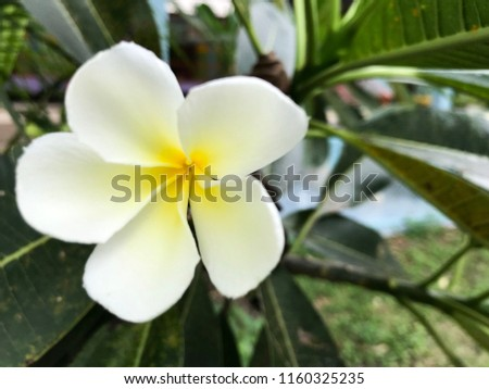 Free photos white flowers with yellow in middle avopix the white plumeria flower and yellow of middle close up 1160325235 mightylinksfo
