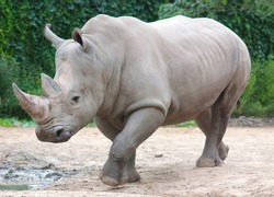 The white rhinoceros or square-lipped rhinoceros is the largest extant species of rhinoceros.  It has a wide mouth used for grazing and is the most social of all rhino species
