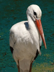 The white stork is a large bird in the stork family, Its plumage is mainly white, with black on the bird's wings.