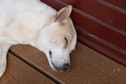 The white street stray dog lying on wooden bench.