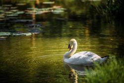 The White Swan.