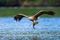 The white-tailed eagle (Haliaeetus albicilla) with the prey
