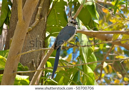The White-throated Magpie-Jay, Calocitta formosa, perched in a tree in the Guanacaste province of Costa Rica.