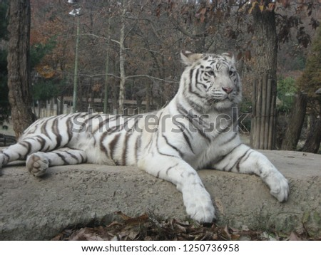 The white tiger is a solitary animal as this allows this large predator to sneak up on prey more effectively in the dense jungle. #1250736958