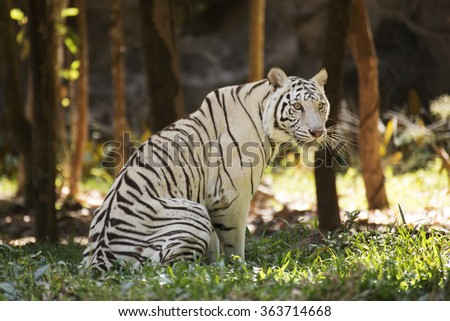 The white tiger resting on the grass