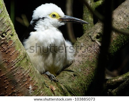 The White Woodpecker, Melanerpes candidus, is a species of woodpecker (Family Picidae) found in South America. - stock photo