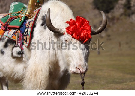 The white yak with the red decoration on head.