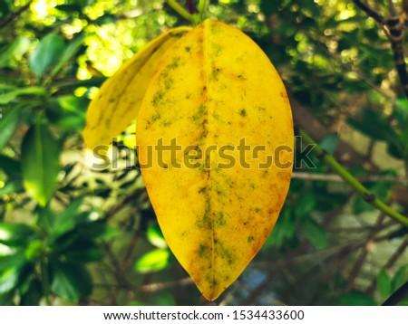 The white, yellow, glittering, ripe ripe stalk.