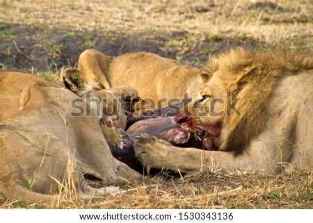 The whole lion pride joined in consuming the remains of a juvenile hippo killed during the previous night. #1530343136