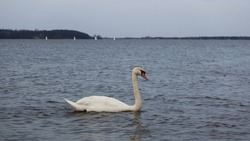 The whooper swan (Cygnus cygnus) also known as the common swan or the mute swan (Cygnus olor). Beautiful white swan in the water. Panoramic view