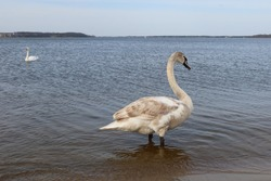 The whooper swan (Cygnus cygnus) also known as the common swan or the mute swan (Cygnus olor). Beautiful white swan in the water. The Zegrze Reservoir (Zegrze Lake, Zegrzynski Lagoon). Poland