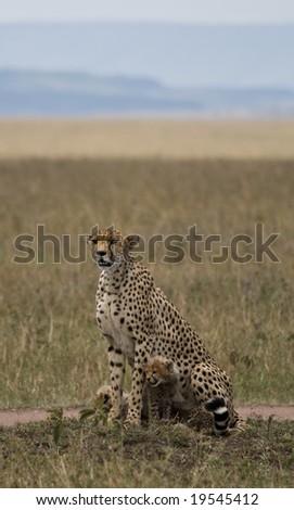 The wild animals on Safari in the Masai Mara Kenya Africa