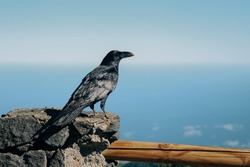 The wild black raven looking at the ocean from the wooden post