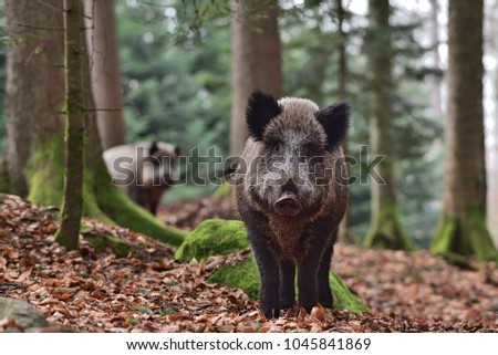 The wild boar (Sus scrofa - wild swine - Eurasian wild pig - wild pig) in his natural environment in european forest in late autumn #1045841869