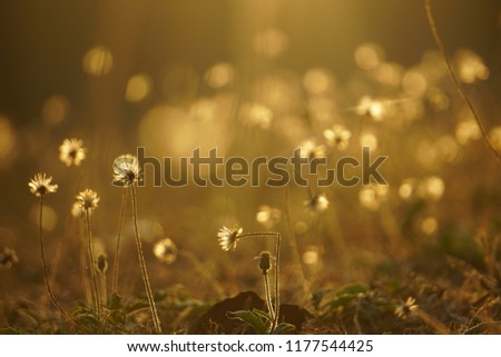 The wild grass flowers at the sunset with the golden blurry background, taken by zooming lens  #1177544425