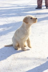 The wild little yellow dog is hoping in the snow
