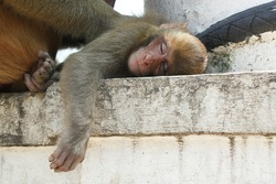 The wild Nepalese Monkey in a relaxing position, Lazy monkey relaxed, Monkey animal sleeping