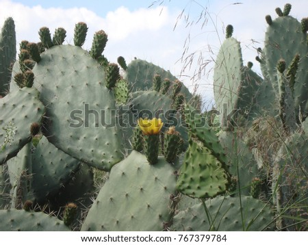 The wild Prickly Pear or Paddle cactus with yellow flower in Spring desert on rocky with blue sky near beach, Greese. Cactus desert. Cactus landscape. Cactus field. #767379784