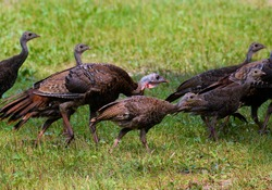 The wild turkey (Meleagris gallopavo) is an upland ground bird native to North America and is the heaviest member of the diverse Galliformes.