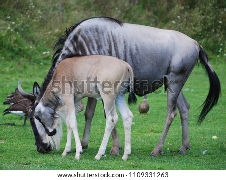The wildebeest or wildebai, also called the gnu is an antelope of the genus Connochaetes. It is a hooved (ungulate) mammal. #1109331263