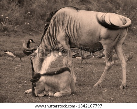 The wildebeest or wildebai, also called the gnu is an antelope of the genus Connochaetes. It is a hooved (ungulate) mammal. #1342107797