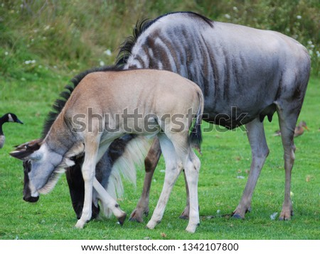The wildebeest or wildebai, also called the gnu is an antelope of the genus Connochaetes. It is a hooved (ungulate) mammal. #1342107800