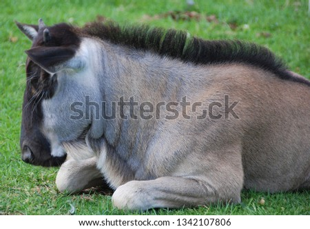 The wildebeest or wildebai, also called the gnu is an antelope of the genus Connochaetes. It is a hooved (ungulate) mammal. #1342107806