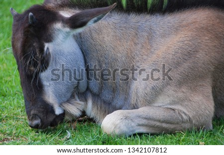 The wildebeest or wildebai, also called the gnu is an antelope of the genus Connochaetes. It is a hooved (ungulate) mammal. #1342107812