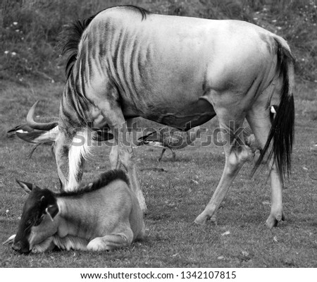 The wildebeest or wildebai, also called the gnu is an antelope of the genus Connochaetes. It is a hooved (ungulate) mammal. #1342107815