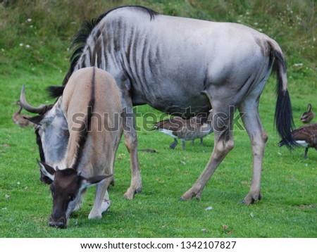 The wildebeest or wildebai, also called the gnu is an antelope of the genus Connochaetes. It is a hooved (ungulate) mammal. #1342107827